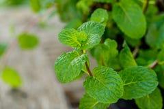 Peppermint plant, marsh mint plant or mentha cordifolia plant Royalty Free Stock Photo