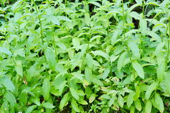 Peppermint plant Royalty Free Stock Images