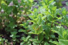 Peppermint Plant On A Sunny Day royalty free stock images