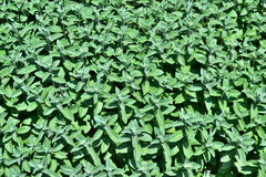 Peppermint plantation Royalty Free Stock Photo