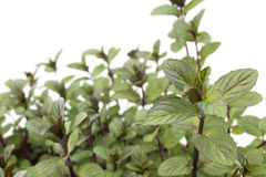 Peppermint plants Royalty Free Stock Image