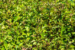 Peppermint plants Royalty Free Stock Images