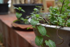 Peppermint. In pots a plant that is growing fast Stock Photos