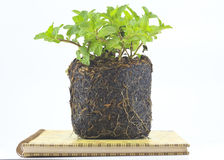 Peppermint seedlings Stock Photos