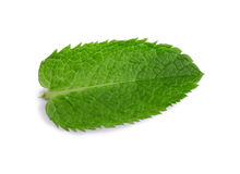 Peppermint, spearmint. Medicinal plant. A close-up of a sweet and fresh leaf of mint. Bright green mint leaves. A close-up fresh mint leaf, isolated on a white stock photo