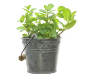 Peppermint in a tin can Stock Image
