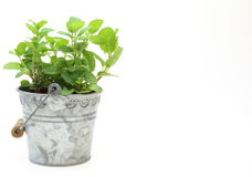 Peppermint in a tin can Royalty Free Stock Images