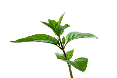 Peppermint twig. Royalty Free Stock Photography