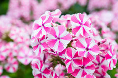 Peppermint twist phlox flowers Royalty Free Stock Image