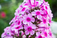 Peppermint twist phlox flowers. Peppermint twist phlox in the garden stock photography