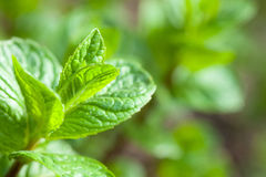 Peppermint. Vegetated new peppermint with fresh green leaves stock photography