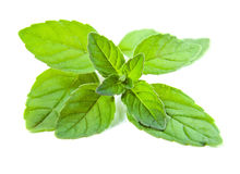 Peppermint on a  white background Stock Photography