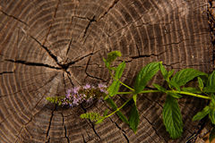 Peppermint on wooden table Stock Image
