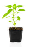 Pepperoni seedlings Royalty Free Stock Images