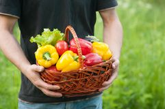 Peppers in basket in hands. Harvest Stock Images