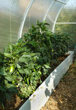 Peppers on a bed in a greenhouse royalty free stock photography