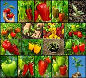 Peppers collection Royalty Free Stock Photography