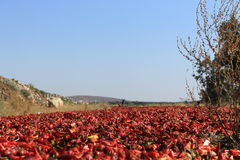 Peppers. Drying peppers near the Kurdish border Royalty Free Stock Photos