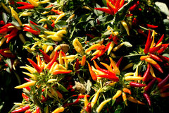 Peppers in the garden Stock Photography