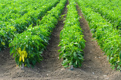 Peppers growing in a field with irrigation system Stock Image