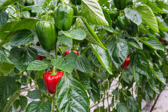 Peppers growing in a greenhouse Stock Image