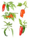 Peppers Royalty Free Stock Image