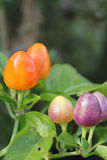Peppers. Ornamental peppers, used as an ornamental or cooking time royalty free stock photos