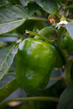 Peppers on   plants Royalty Free Stock Photo