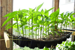 Peppers seedlings in cassettes on balcony Stock Image