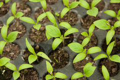 Peppers seedlings. Fresh peppers seedlings, in a greenhouse Royalty Free Stock Images