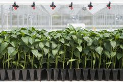 Peppers seedlings grown in trays in blisters greenhouse. Pepper seedlings growing in seedling tray in greenhouse. With greenhouse diffusers for agribusiness royalty free stock image