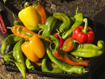 Peppers. Summer harvest of hatch valley chili peppers, cowhorn peppers, bell peppers, serrano peppers and cayenne peppers Stock Photo