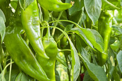Peppers on trellis. Peppers field, pepper on trellis Royalty Free Stock Photos