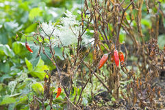 Peppers in a vegetable garden royalty free stock photography