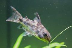 Pepprade Cory Catfish arkivbild