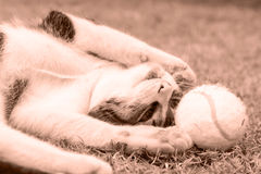 Peppy Cat (Sepia) Stock Photos