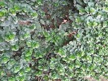 PEPROMIA OBTUSIFOLIA,婴孩橡胶树植物 图库摄影