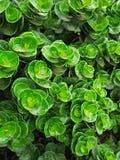 PEPROMIA OBTUSIFOLIA, dziecka GUMOWEGO drzewa roślina zdjęcie royalty free
