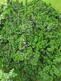 PEPROMIA OBTUSIFOLIA, dziecka GUMOWEGO drzewa roślina zdjęcia royalty free