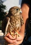 Pequeña águila Foto de archivo libre de regalías