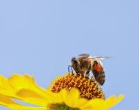 Pequeña abeja Fotos de archivo libres de regalías