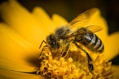 Pequeña abeja agradable que trabaja en un flor amarillo Imágenes de archivo libres de regalías