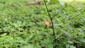Pequeña abeja amarilla que poliniza una pequeña flor rosada del cardo de arrastramiento almacen de metraje de vídeo