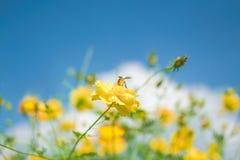 Pequeña abeja amarilla y flor amarilla grande con el fondo del cielo azul Imagen de archivo