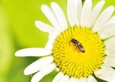 Pequeña abeja de carpintero Fotografía de archivo