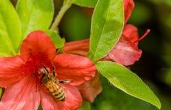 Pequeña abeja de la miel que recolecta el néctar de la flor Foto de archivo libre de regalías