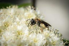 Pequeña abeja de mina en una flor blanca Fotografía de archivo libre de regalías