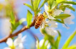 Pequeña abeja en árbol floreciente Fotos de archivo