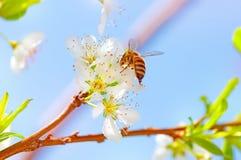 Pequeña abeja en árbol floreciente Imagen de archivo