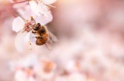Pequeña abeja en cereza floreciente Fotos de archivo libres de regalías